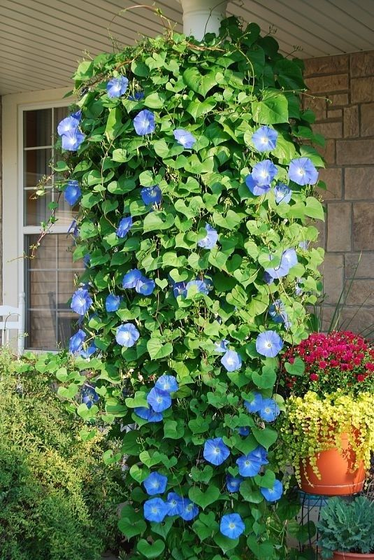 Heavenly Blue Morning Glories..put in a hanging pot, and they will grow downwards. Beautiful i want a bunch of these around my house ! But I don't have any pillars or anywhere to hang them except maybe on the privacy fence in my front yard?! Hmmm