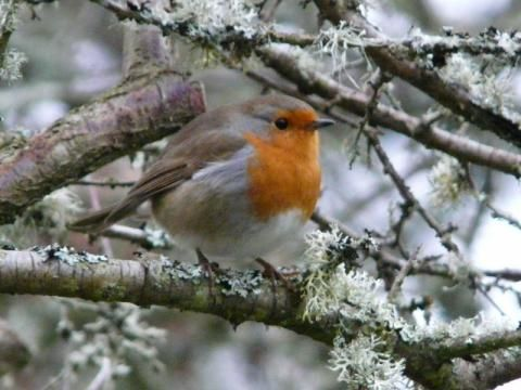 Robin: the gardeners companion | Nature Notes from Dorset