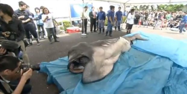 Rare megamouth shark captured off Japan 'Alien shark' was hauled from a depth of 2,600 feet; only 58 known sightings :-(