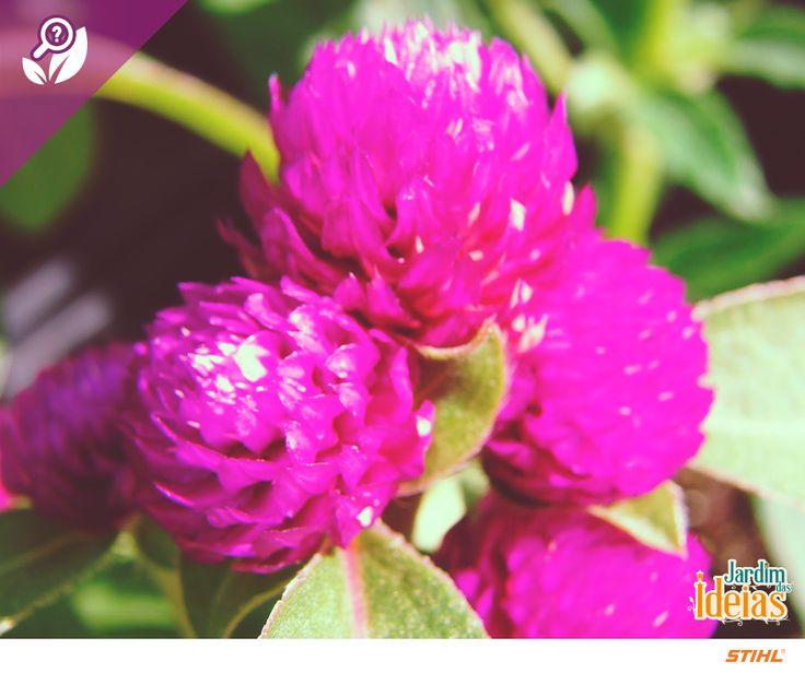 Amaranto é uma espécie que compreende cerca de 70 variedades. Seu nome significa vida eterna.