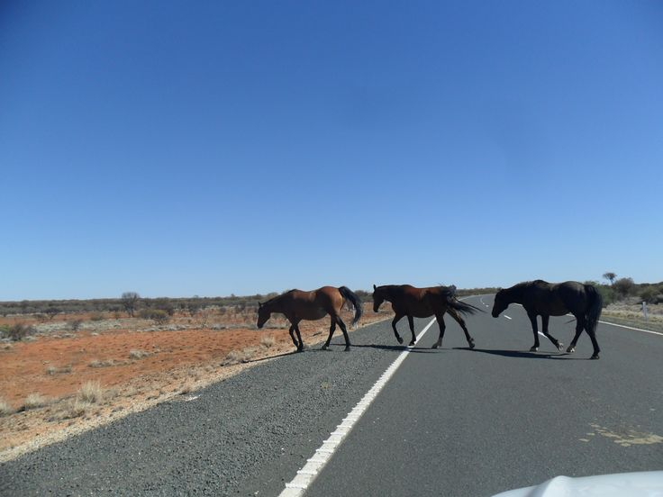 Outback, wild horses