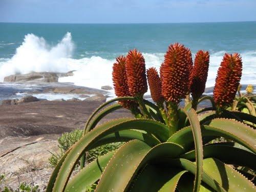 Madagascar Toliara Taolanaro    Evatra, fiori e onde dell'oceano