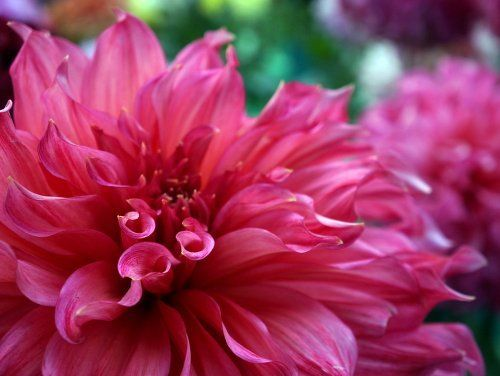 Roses In Garden: 96 Best Dahlias And Roses Images On Pinterest