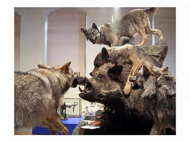 Wolf And Wild Bore Mount Taxidermy Pinterest