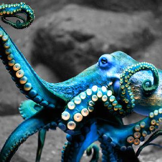 Blue Octopus > the plural of octopus is not octopuses or octopi, but it is octopodes from the Greek.