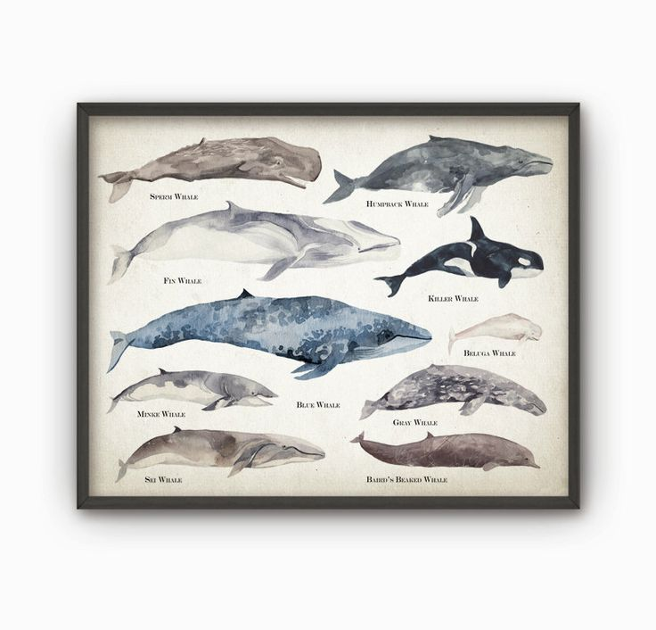 Whales Watercolor Wall Art Poster - Educational Whale Species Size Comparison Chart - Watercolor Whales - Marine Biology Art Print - AB131 by QuantumPrints on Etsy https://www.etsy.com/listing/237249254/whales-watercolor-wall-art-poster