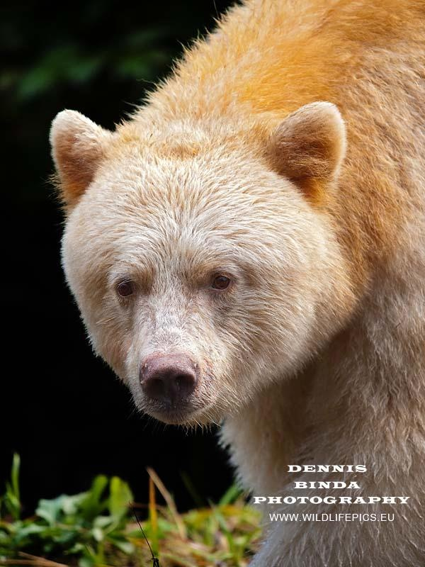 """Rare Kermode (Spirit Bear)  The rare Kermode Bear is a subspecies of the American Black Bear. One out of 10 Kermode Bears have a white or cream-coloured coat due to a unique recessive gene. They are neither albino nor related to polar bears. Because of their ghost-like appearance, these bears hold a special place in the legends of First Nations peoples, who created the name, """"Spirit Bear""""."""