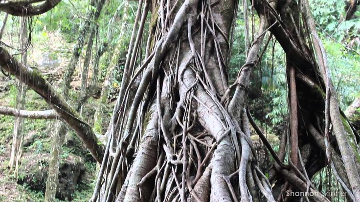 Shannon's Travels Vlog: India - Living Root Bridges
