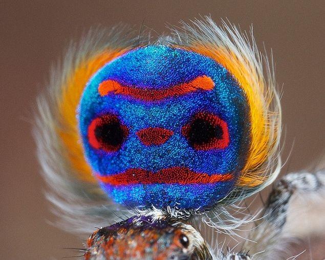 L' araignée paon par Jurgen Otto