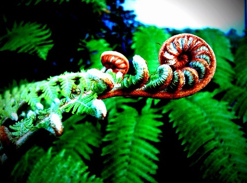 NZ Silver Fern or Ponga