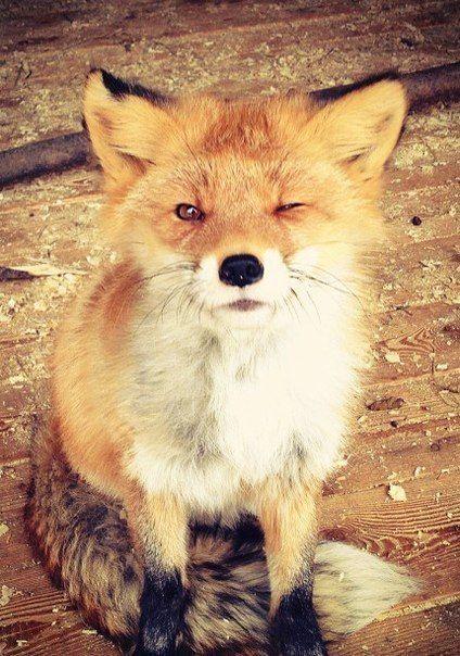 Winking baby fox ✿⊱╮