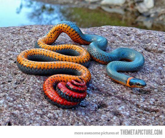 Oregon Ring Necked Snake