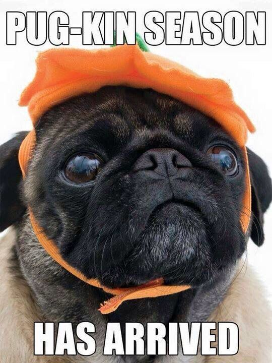 Time to pick out pug Halloween costumes!!