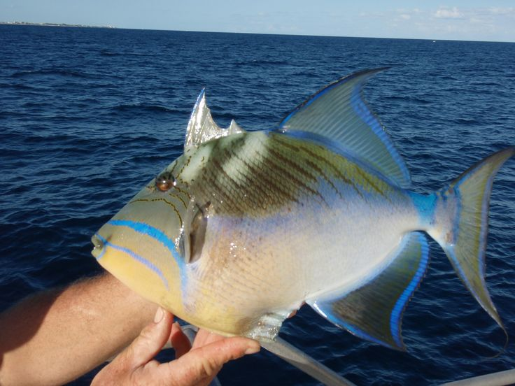 Balistes vetula queen triggerfish old wife atlantic for Old wife fish