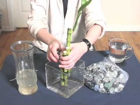 Growing lucky bamboo in water.