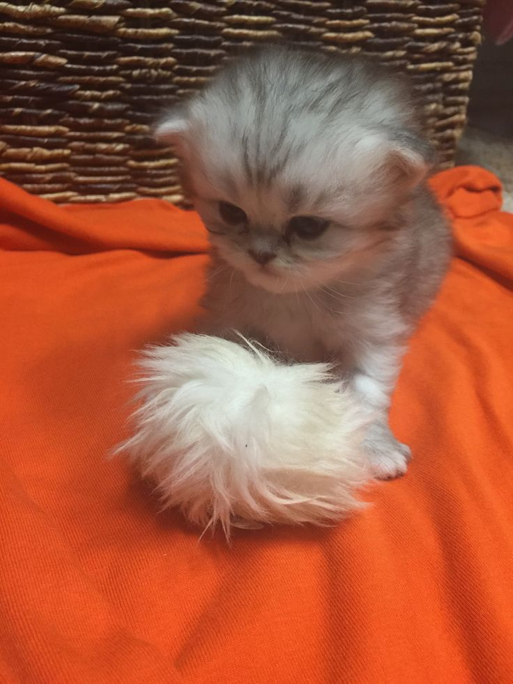Red persian kittens for sale in texas