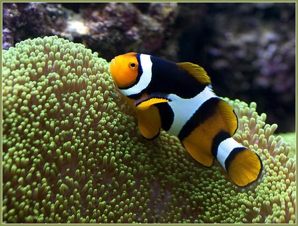 All clown fish are born male when the female of the group for Clown fish habitat