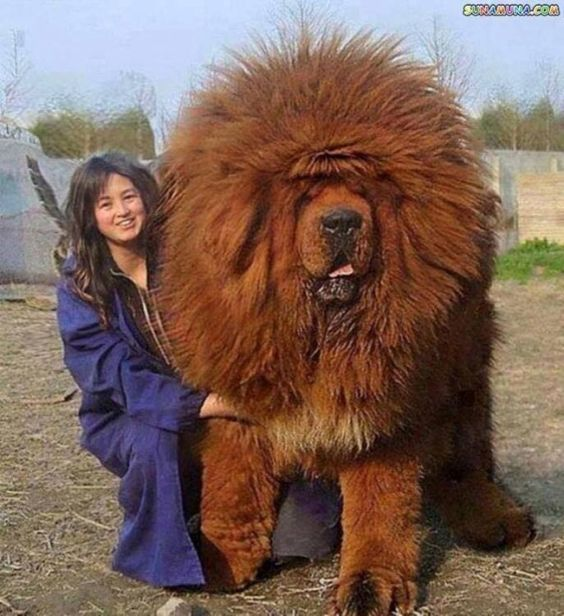 I wonder how a lion would feel if this walked up to him... One of the largest dog breeds - Tibetan Mastiff ~:
