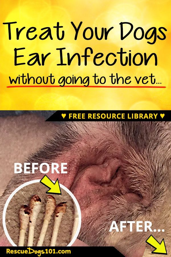The Secret To Getting Rid Of Ear Infections In Your Dog At Home Dogs Ears Infection Dog Ear Cleaner Dog Care Tips