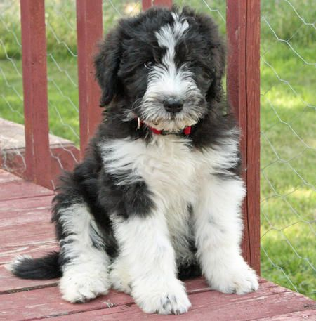 bouvier poodle mix dogs i like puppies dogs cute