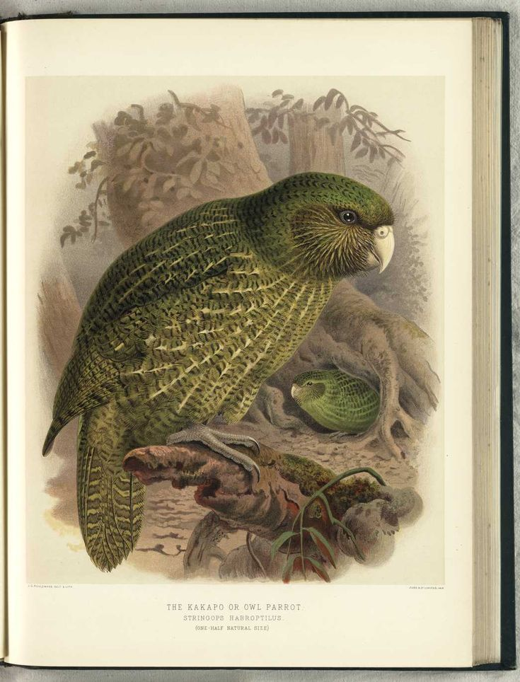 Kakapo or Owl Parrot by JG NZ Keulemans (from Walter Buller's 'A History of The Birds of New Zealand' - 1870's)