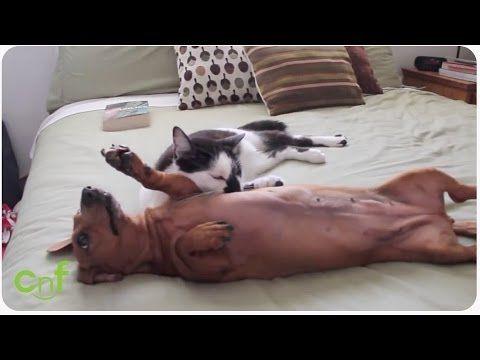 il gattino riesce incredibilmente a calmare uno scalmanato bassotto