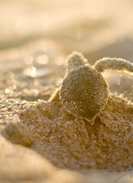 https://www.pinterest.com/source/bocaratonphotographyanddesign.com To watch these baby turtles emerge from their nest was just amazing.  I was lucky enough to be there right when it happen‼