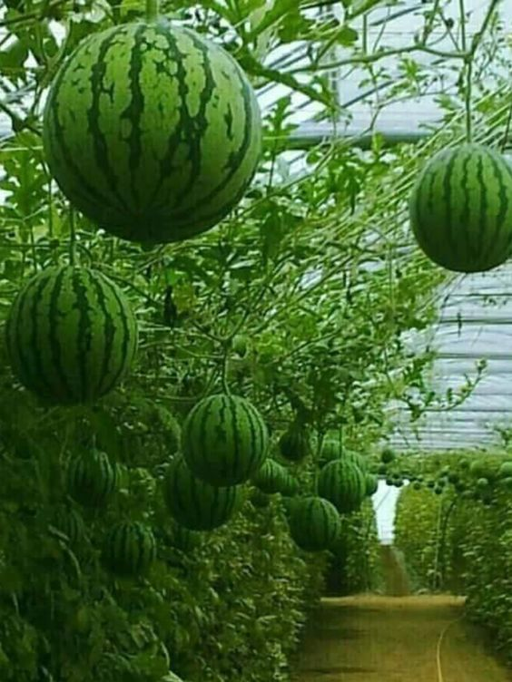 watermelon greenhouse: