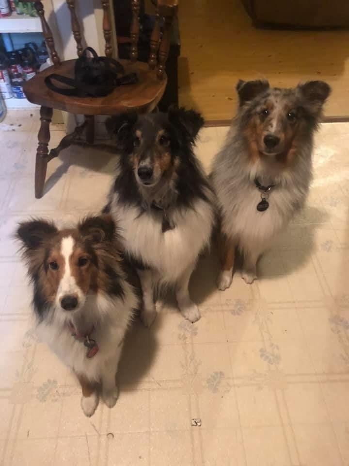 ちっちゃなシェルティ3姉妹 アリスベビーの家族日記 Sheep Dog Puppy Shetland Sheepdog Puppies Sheltie Dogs