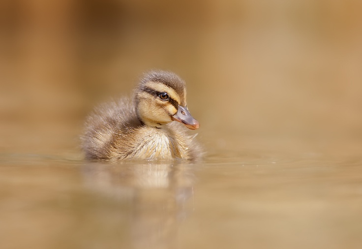 Duck by Stefano Ronchi, via 500px