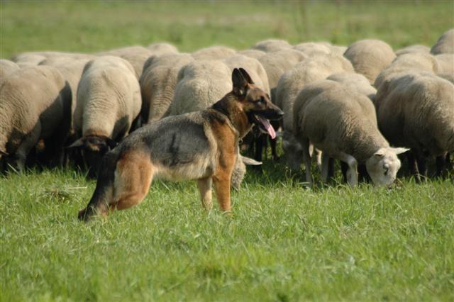 uwhondenkat.nl: De beeldvorming van de Duitse Herder (6)