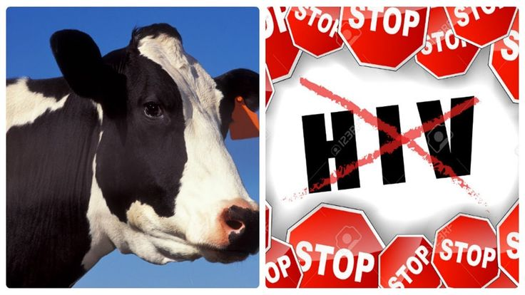 Shocking! Cows Help In Fighting HIV