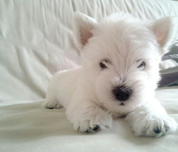 Afbeeldingsresultaat voor leosco white terrier