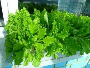Как вырастить на подоконнике салат и другую зелень