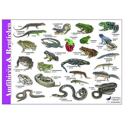 Herkenningskaart Amfibieën en Reptielen (art.nr. 971001) | JASPER DE RUITER