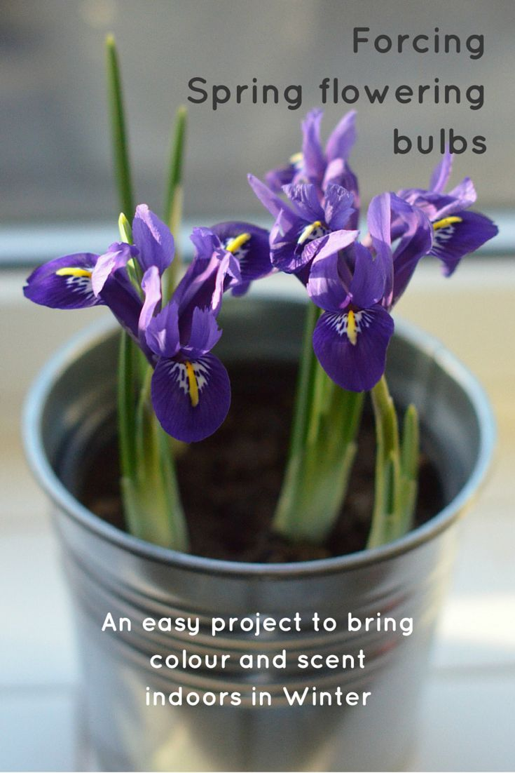 best 25 spring flowering bulbs ideas on pinterest planting