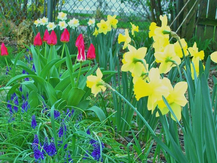 April 22, 2012 - Flower of the Day: Grape Hyacinth, Daffodil, Jonquil, Plaisir Gregii Tulips...