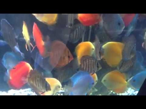 17 best discus dreams images on pinterest discus for Keeping discus fish