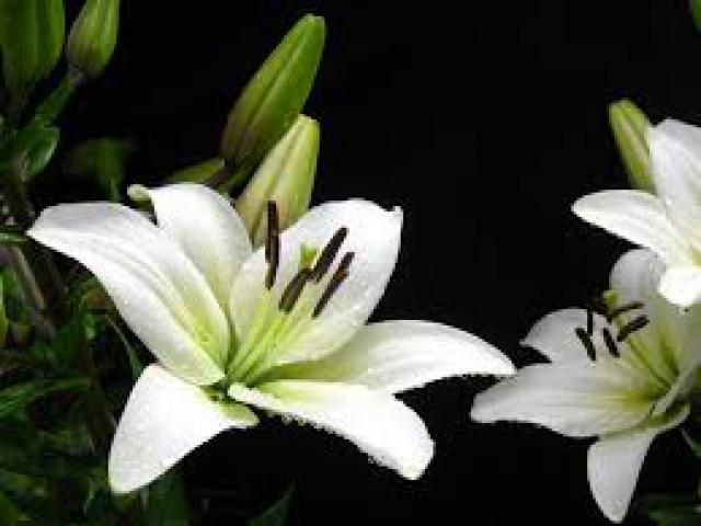 Lilies for sale  We supply all types of flowers  For more details: http://www.agribazaar.co/index.php?page=item&id=1520
