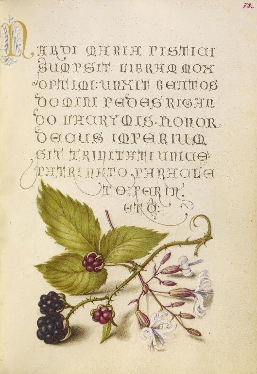 Joris Hoefnagel (illuminator)  [Flemish / Hungarian, 1542 - 1600], and Georg Bocskay (scribe)  [Hungarian, died 1575],                              Blackberry and Nottingham Catchfly,                              Flemish and Hungarian, 1561 - 1562
