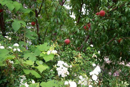 PEACH TREE GUILD  Lots of Life in One Place: Peach Tree in Permaculture and Peach Chutney in Your Pantry