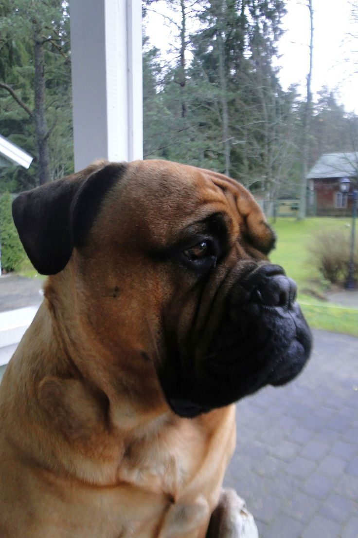 English Bull Mastiff nolostdogs.org