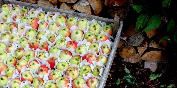 EN OVERFLOD AF ÆBLER - Apple harvest
