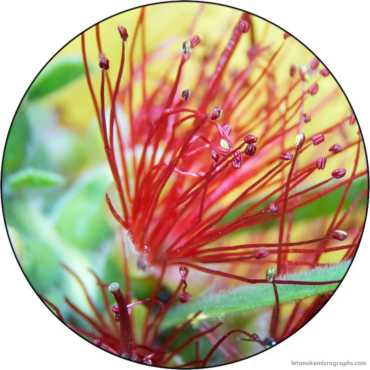 The filaments and anthers of Callistemon citrinus (Myrtaceae). The whole genus is commonly called the bottlebrush; the reason is obvious if you look at the whole flower spike. Look at those crazy...
