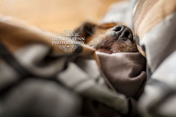 This is our Beaglier having a lovely Sunday afternoon snooze without a care in the world.  Cute Dog Photography