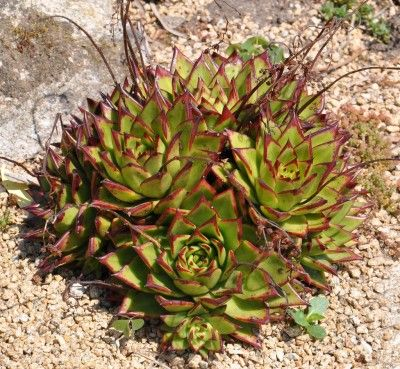 Care Instructions For Echeveria:  Echeveria Succulent Plant Information - Succulent plants are easy to love. The Echeveria succulent plant is just such a specimen, with its care practically foolproof. Learn more about these plants and how to grow them in this article.