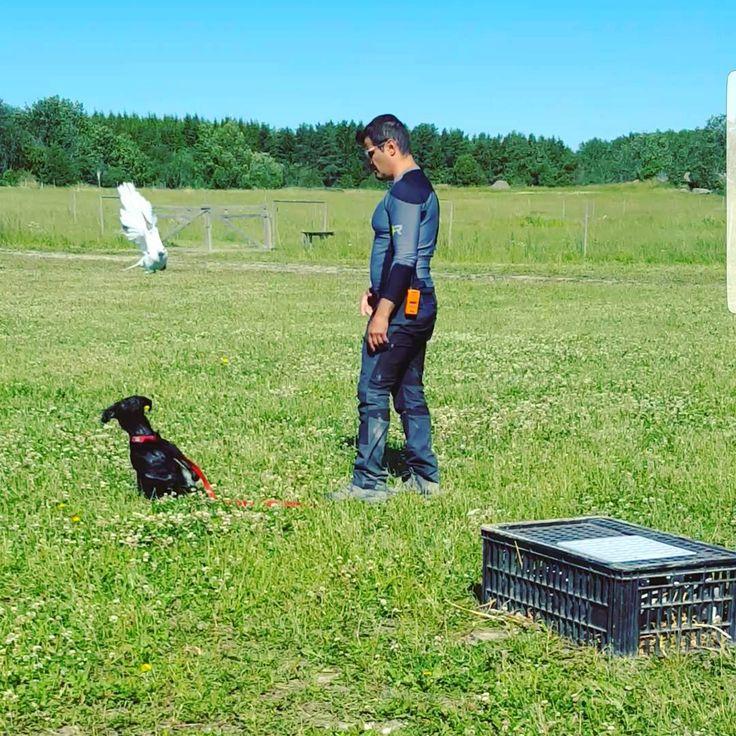 En dag till med fågelträning och dressyr #jakt #träning #hund #dog #huntingdog #hunt #hunting #breton #brittanyspaniel #epagneul #birddog #fågelhund #duva #pigeon http://misstagram.com/ipost/1549250452787698048/?code=BWACxQahhmA