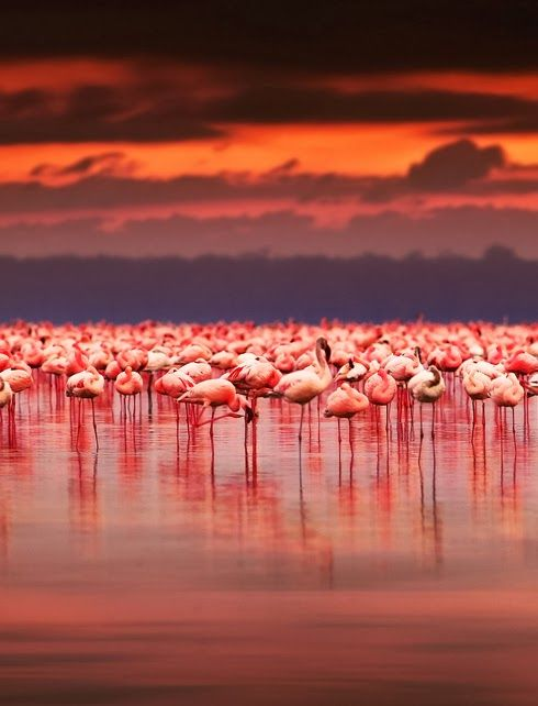 Flamingos in Nakuru National Park, Kenya  Beautiful Kenya! Come and Volunteer with us :)