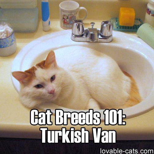Cat Breeds 101: Turkish Van►►http://lovable-cats.com/cat-breeds-101-turkish-van/?i=p