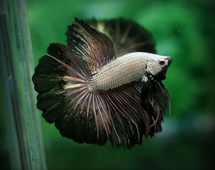 1000 images about fishes fancy bettas on pinterest for Black betta fish